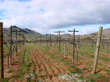 Grape Vineyards in the Guadalupe Valley